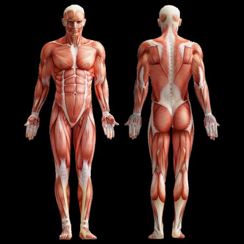 human_muscle